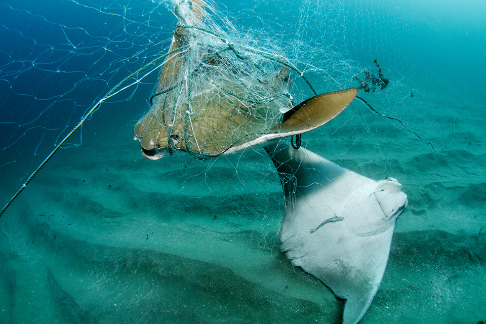 Two cownose rays have been entangled in a large gillnet. Often aggregating in schools, sometimes very large numbers get caught using this indiscriminate fishing method
