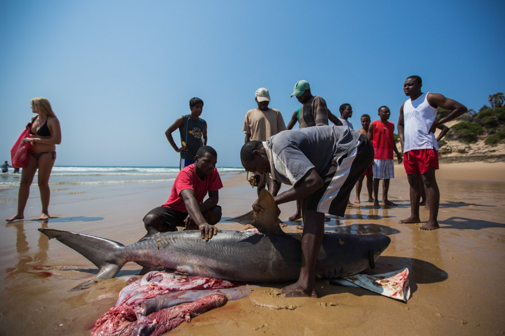A landed shark is finned in Tofo, Mozambique. Sharks have been extensively targeted for their prized fins in the Asian market.